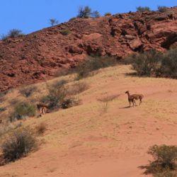 Los tres cazadores fueron pescados in fraganti mientras perseguían a un guanaco adulto.