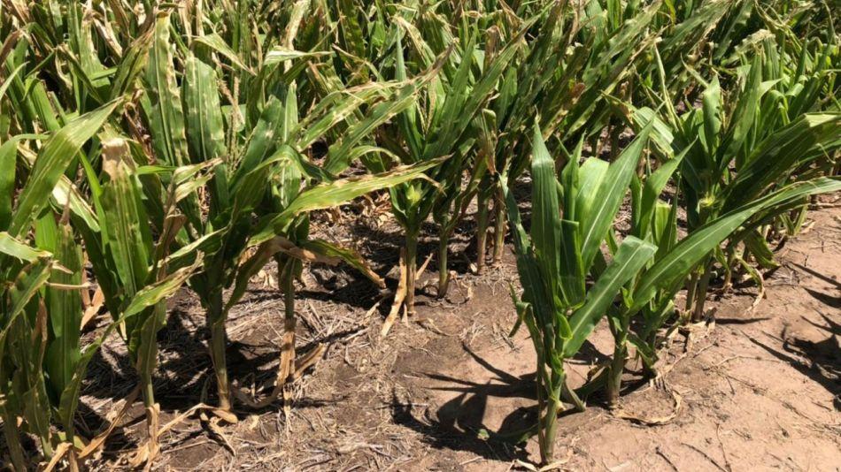 Sequía en Carlos Tejedor