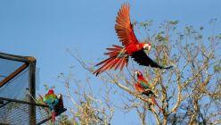 Tras 170 años, vuelven a volar guacamayos rojos en Corrientes