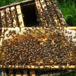 Una cuarta parte de las 20 mil especies de abejas conocidas no aparecen en los registros públicos desde la década de 1990.