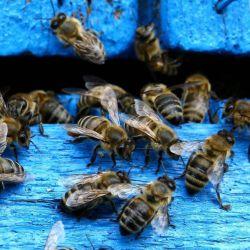 Las poblaciones de las abejas silvestres en su conjunto vienen disminuyendo en abundancia.