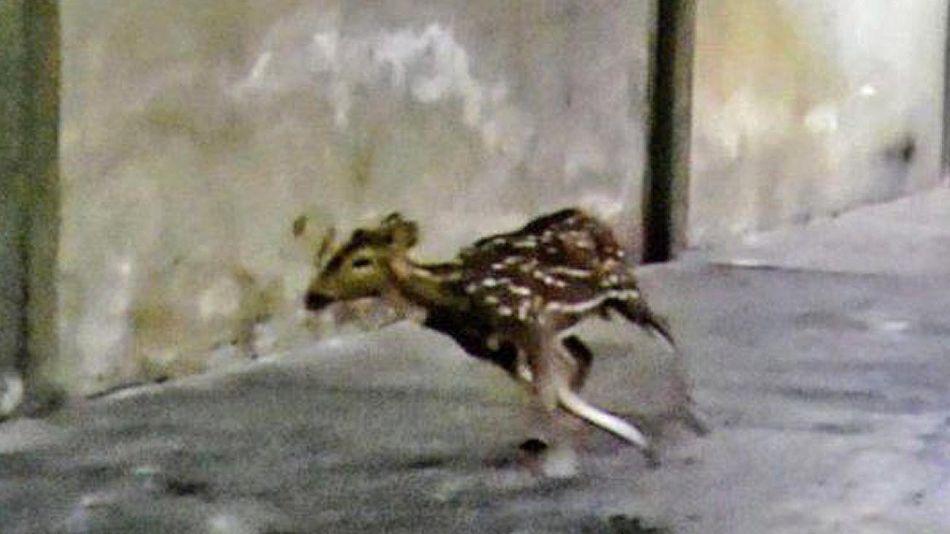 ciervo errante fue capturado20210318