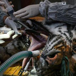 Baikal, un tigre siberiano de 14 años, se somete a una cirugía dental para curar una infección, en el Parque Zoológico y Botánico de Mulhouse. | Foto:Sebastien Bozon / AFP
