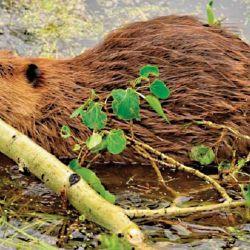 En 1946, 20 castores fueron introducidos en Tierra del Fuego desde Canadá. Hoy son incontrolables.