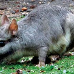 La vizcacha fue erradicada del Uruguay y declarada plaga en la Argentina.