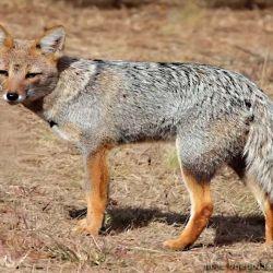 Hoy casi nadie caza los zorros, porque su piel perdió el valor de otrora.