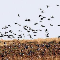 Las palomas son una plaga mundial. En la Argentina diezman entre el 5 y 25 % de las cosechas.