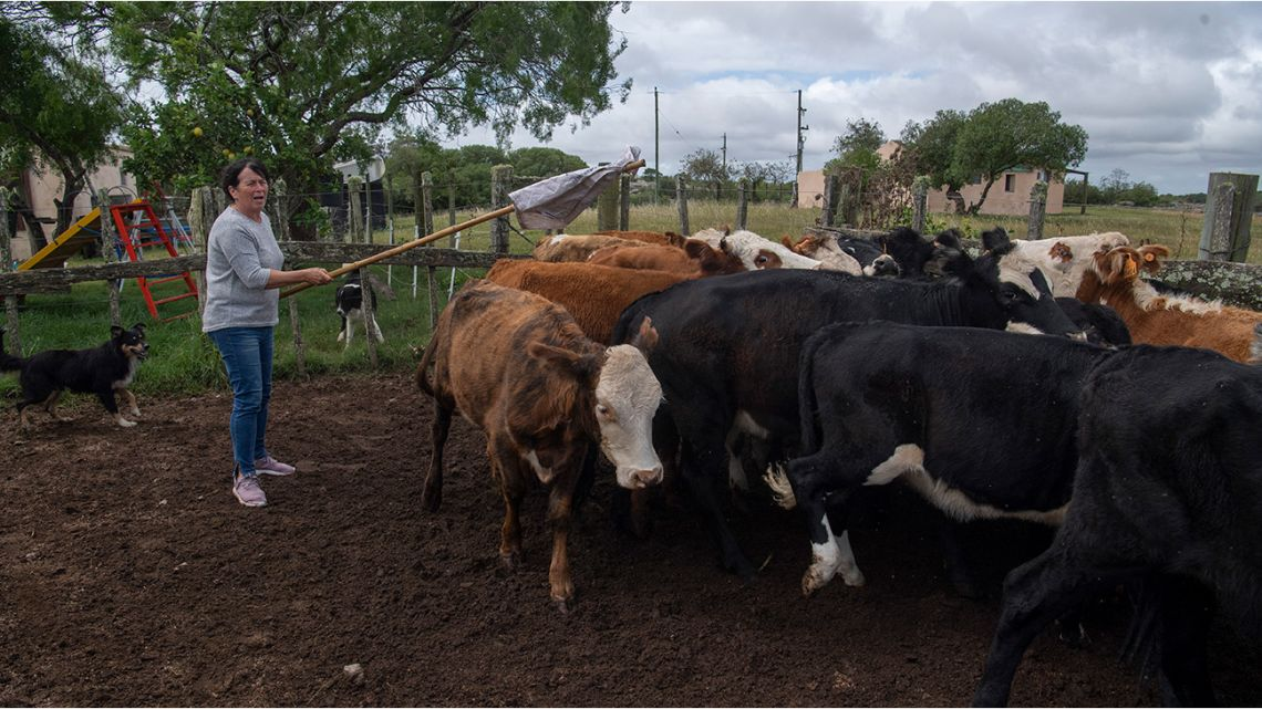 Rosa Correa herds cows to be vaccinated against foot-and-mouth disease in a field in Cerro Pelado, Lavalleja Department, 160 km northeast of Montevideo, Uruguay, on March 17, 2021.