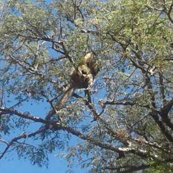 Los monos carayá o aulladores fueron vistos en la zona del acceso Oeste de Posadas, Misiones.