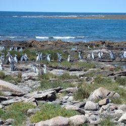 Los visitantes tendrán el privilegio de avistar a la colonia reproductiva de Pingüinos de Magallanes (Spheniscus magellanicus