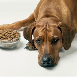 Si de la noche a la mañana tu perro deja de comer o de tomar agua es porque algo malo le está pasando.