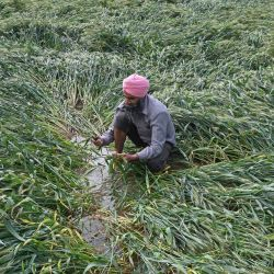 Un agricultor examina su cosecha de trigo que resultó dañada después de que el campo se inundó debido a las fuertes lluvias en las afueras de Amritsar. | Foto:Narinder Nanu / AFP