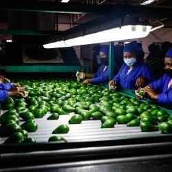 Los empleados del almacén de empaque de Afrupro trabajan en una línea de empaque de aguacate en Tzaneen. | Foto:Guillem Sartorio / AFP