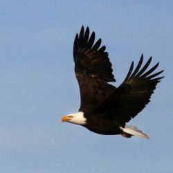 El águila calva es la mascota de Estados Unidos.