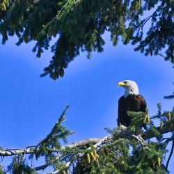 Ya en el año 2007 el águila calva entró en la lista de aves amenazadas.