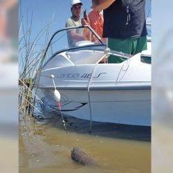 Las aguas turbias exigieron perfeccionar la técnica, y, en algunos casos, hasta hubo que bajarse del bote para acercar la captura.