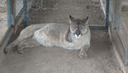 La puma Unelén se encuentra en el centro de rehabilitación Pumakawa.