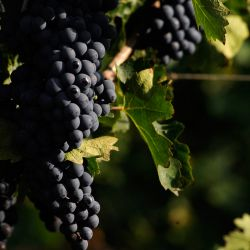 View of a bunch of Cabernet Sauvignon grapes at the vineyards of the Catena Zapata winery in Agrelo, Luján de Cuyo.