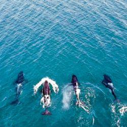 Las cuatro orcas fueron avistadas en las aguas del Golfo San Matias.