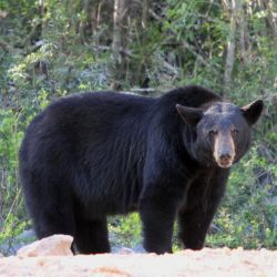 Según los especialistas, la enfermedad que aqueja a los osos negros se parece a la enfermedad de desgaste crónico.