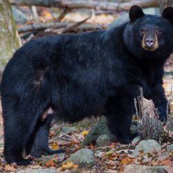 En los últimos 12 meses las autoridades han capturado a cuatro osos con encefalitis.