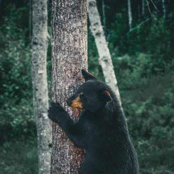 Los osos con cerebros peligrosamente inflamados se han encontrado en el lado de Nevada del lago Tahoe y en el condado de Humboldt.