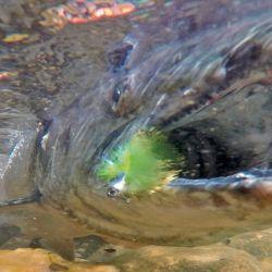 Moscas grandes con cabeza metálica en color chartreuse son muy buena tentación.