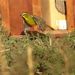 Los 19 cardenales amarillos fueron liberados en el sur de la provincia de Buenos Aires. fuero