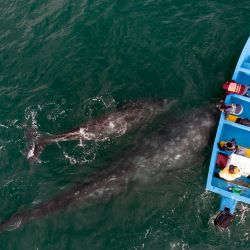 Vista aérea de ballenas grises nadando cerca de un barco de avistamiento de ballenas en la laguna Ojo de Liebre en Guerrero Negro, estado de Baja California Sur, México. | Foto:Guillermo Arias / AFP