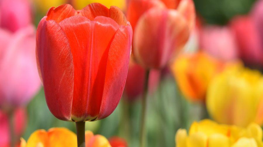 """El nombre del tulipán proviene de la palabra turca """"tulbend"""" que significa turbante y hace referencia al parecido de la flor con esa prenda típica de Oriente"""