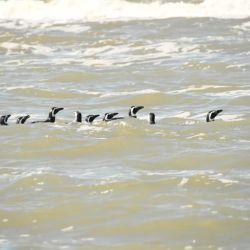 Los pinguinos fueron liberados en las aguas de San Clemente del Tuyú.