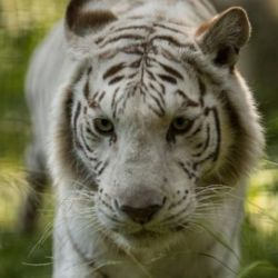 Rhiano, a 14-year-old born in what used to be the old Cityzoo and Cleo, a 12-year-old originally from a Canadian zoo, are headed to the Wild Animal Sanctuary in Keenesburg, Colorado.