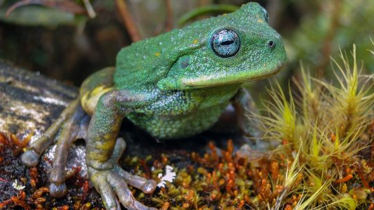 New species of frog unearthed in Peruvian Amazon jungle
