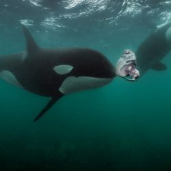Orcas cazadoras de rayas en las aguas de la Isla Norte de Nueva Zelanda (Foto: Brian Skerry).