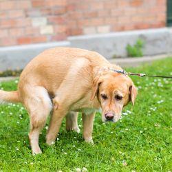 Es uno de los signos clínicos más frecuentes en los perros.