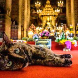 Un gato yace en la alfombra dentro de un templo budista mientras Tailandia celebra su Año Nuevo budista, conocido localmente como Songkran, cuando las autoridades tailandesas impusieron restricciones de seguridad pública en el festival debido al resurgimiento del coronavirus Covid-19. | Foto:Mladen Antonov / AFP