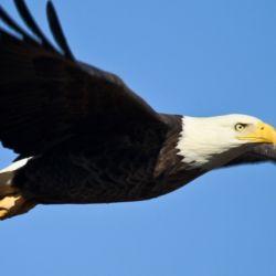No es la primera vez que un águila imperial vuela junto a un dron.