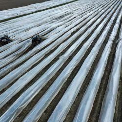 Esta vista aérea muestra a trabajadores en un campo de espárragos cerca de Herten, en el oeste de Alemania. | Foto:Ina Fassbender / AFP