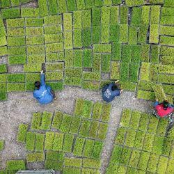 Esta foto aérea muestra a los agricultores transfiriendo plántulas de arroz en una base de plántulas en Jianhe, en la provincia de Guizhou, suroeste de China.   Foto:STR / AFP
