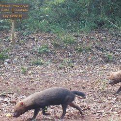 En la Argentina, el zorro pitoco solo habita en la provincia de Misiones.