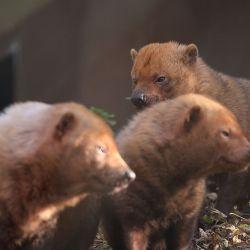 Debido a su escasa población este pequeño cánido se encuentra en peligro de extinción.