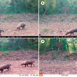Pesa entre 4 y 7 kilos y vive en grupos reducidos de entre 5 y 12 individuos.