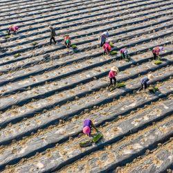 Esta foto aérea muestra a agricultores plantando okra en un campo en Nantong, en la provincia de Jiangsu, en el este de China. | Foto:STR / AFP