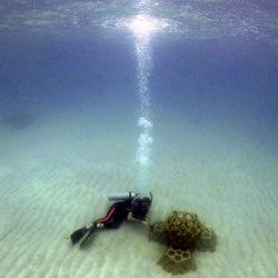 Un miembro de la fundación Reef2Reef inspecciona un vivero de coral ubicado en Playa Huerta, en Portobelo, provincia de Colón, Panamá. | Foto:Luis Acosta / AFP