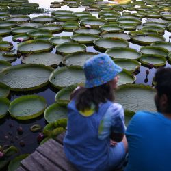 Se observan Victoria cruzianas -especie de la familia de los nenúfares Nymphaeaceae- (Yacare Yrupe en guaraní), que aparecen cada tres o cuatro años en gran cantidad y tamaño en el río Paraguay, en Piquete Cue, al norte de Asunción. | Foto:Norberto Duarte / AFP