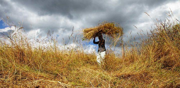 Un aldeano lleva heno cortado de un campo para alimentar a su ganado en medio de una sequía en Kupang, East Nusa Tenggara.