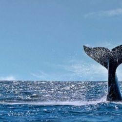 Las ballenas llegan a la región en esta época del año para cumplir el ciclo vital de reproducción y cuidado de los ballenatos.