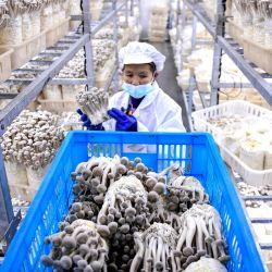 Un trabajador recoge hongos en una planta de procesamiento y granja de hongos en Anlong, en la provincia de Guizhou, suroeste de China. | Foto:STR / AFP