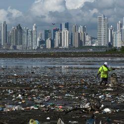 Un hombre recolecta basura, incluidos desechos plásticos, en la playa de Costa del Este, en la Ciudad de Panamá. - Cada dos semanas, estudiantes de Biología Marina descienden unos cinco metros en el mar para cuidar un vivero de corales de la especie cuerno de ciervo (Acropora cervicornis) en Portobelo, Panamá, con la que pretenden restaurar arrecifes dañados por el cambio climático y la contaminación, como parte del proyecto Reef2Reef. | Foto:Luis Acosta / AFP