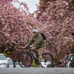 Canadá, Vancouver: un ciclista pasa junto a los cerezos en flor en Vancouver. | Foto:Darryl Dyck / The Canadian Press vía ZUMA / DPA
